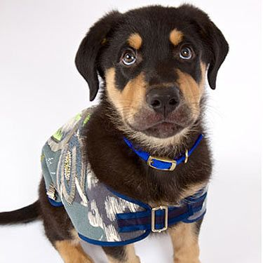 """<p>Now how can anyone ignore a face like this? Little Cree is showing off his new designer outfit by Matthew Williamson as he prepares for <a title=""""http://www.collarsandcoats.org.uk./"""" href=""""http://www.collarsandcoats.org.uk./"""" target=""""_blank"""">Battersea's fashion parade</a> on the 8th November 2012. We wonder what his diva demands would be...</p>"""