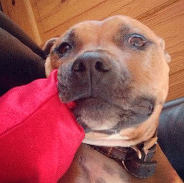 """<p><strong>Who?</strong> Zoe says: """"I couldn't resist going to see 15 puppies and ended up picking out this cutie, Layla, (although she resembles more of a seal in this photo!) with my boyfriend and family."""" </p><p><strong>Loves:</strong> Having a chew on one of the new pillows (tut tut), Layla loves her comfort that's for sure!</p>"""