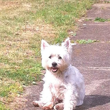 """<p><strong>Who?</strong> Cosmo freelance writer's westie, Tilly.</p><p><strong>Loves:</strong> """"First arriving at our home with a little bell on, Tilly was the cutest thing we've ever seen. That was until she discovered her voice and barked at anything from a squirrel to a leaf blowing in the wind! She's got better as she's got older but will still only play with pink toys…""""</p>"""