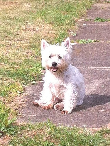 "<p><strong>Who?</strong> Cosmo freelance writer's westie, Tilly.</p> <p><strong>Loves:</strong> ""First arriving at our home with a little bell on, Tilly was the cutest thing we've ever seen. That was until she discovered her voice and barked at anything from a squirrel to a leaf blowing in the wind! She's got better as she's got older but will still only play with pink toys…""</p>"