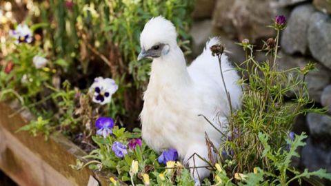 Daytime, Bird, Beak, Shrub, Lavender, Spring, Violet, Groundcover, Garden, Galliformes,
