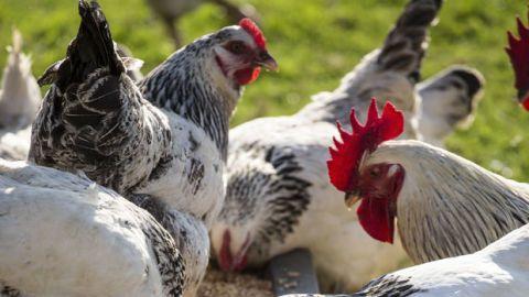 Organism, Vertebrate, Phasianidae, Bird, Red, White, Galliformes, Beak, Adaptation, Poultry,