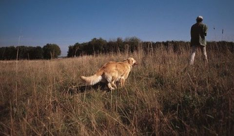 Carnivore, Dog, Mammal, Dog breed, Grassland, Retriever, Grass family, Sporting Group, Fur, Companion dog,