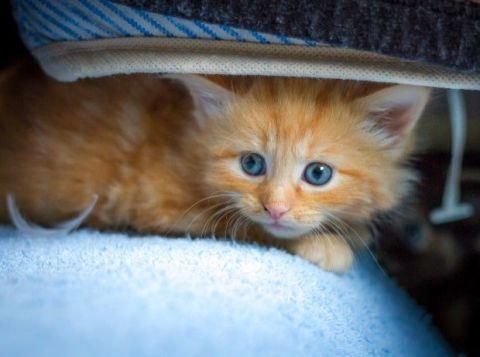 Blue, Skin, Whiskers, Cat, Felidae, Small to medium-sized cats, Vertebrate, Carnivore, Iris, Kitten,