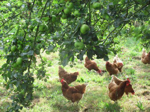 Adopt a chicken - Battery hen rescue