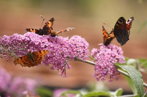 Invertebrate, Organism, Arthropod, Insect, Plant, Pollinator, Flower, Butterfly, Shrub, Moths and butterflies,