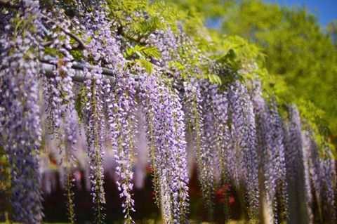 Purple, Lavender, Violet, Botany, Garden, Shrub, Spring, Groundcover, Annual plant, Lavender,