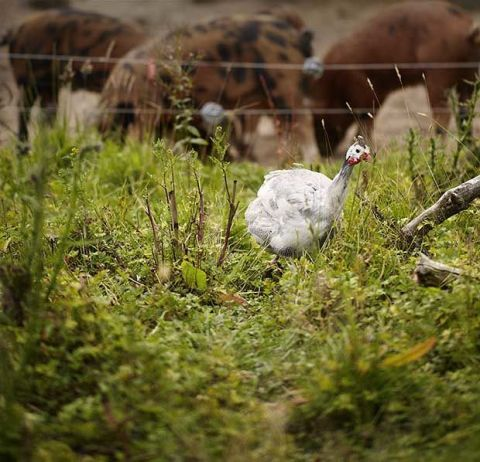 Grass, Vertebrate, Bird, Beak, Galliformes, Phasianidae, Adaptation, Pasture, Grassland, Grass family,