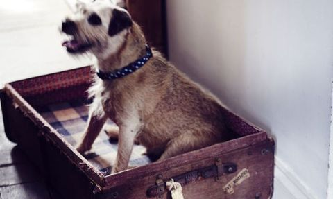 Terrier in suitcase dog bed
