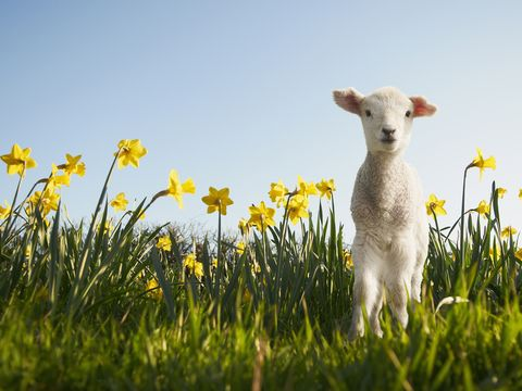 Lamb in a field of daffodils in Spring