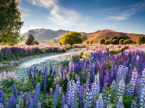 Plant, Lavender, Purple, Mountain, Flowering plant, Wilderness, Wildflower, Groundcover, Lavender, Garden,