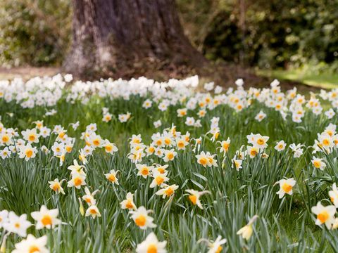 narcissi flowers at a tree trunk in a garden