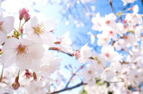 Flower, Blossom, Spring, Branch, Cherry blossom, Plant, Petal, Daytime, Twig, Sky,