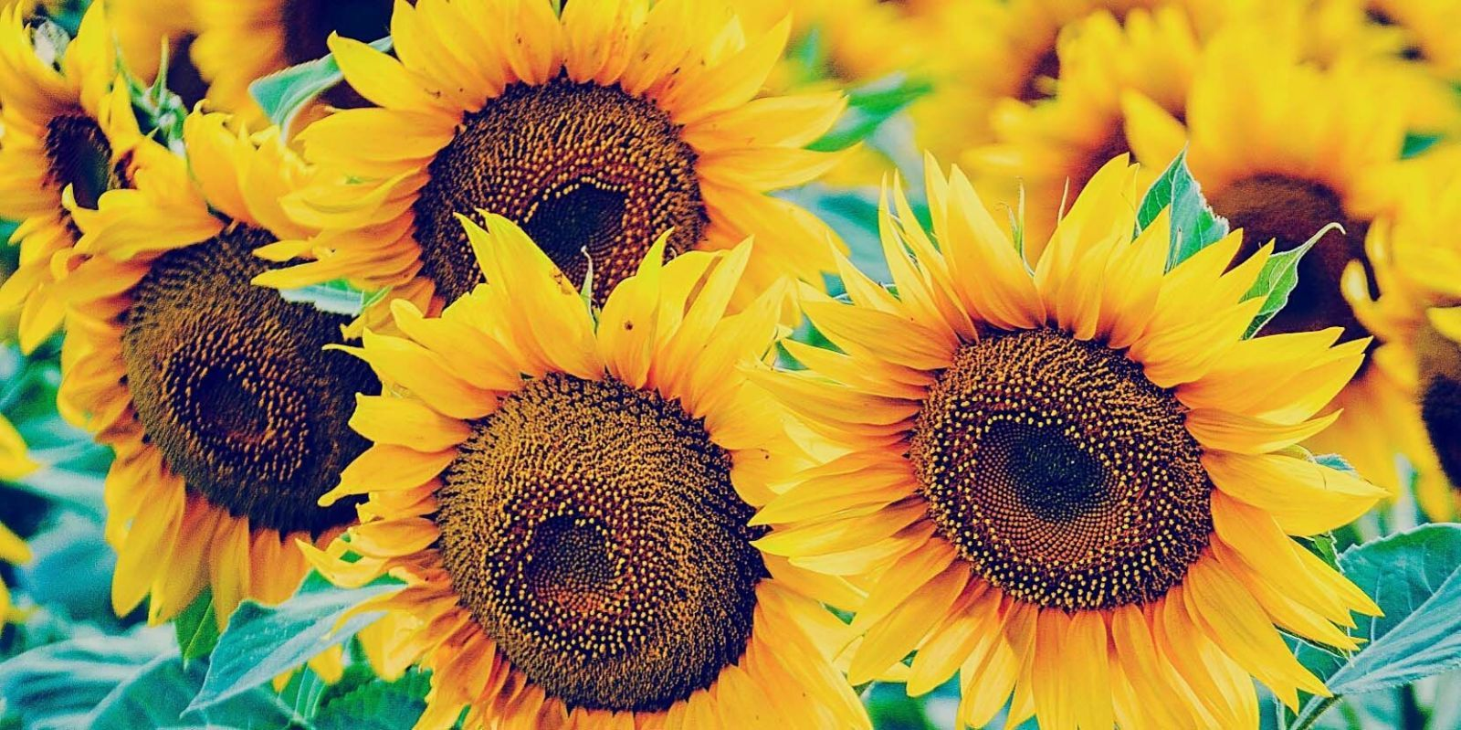 sunflowes