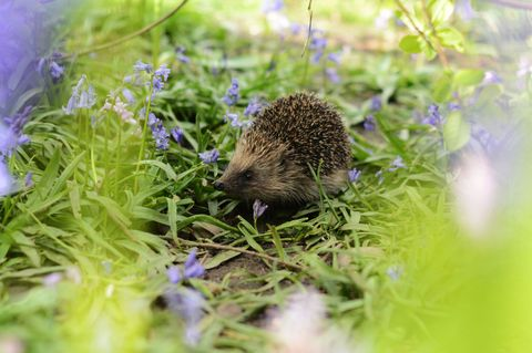 Hedgehog in a garden bluebells