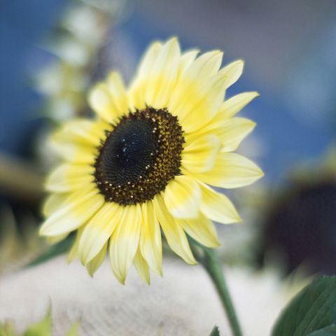 7 tips and tricks to get the most out of your sunflowers cream sunflower mightylinksfo