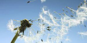hay fever pollen dandelion