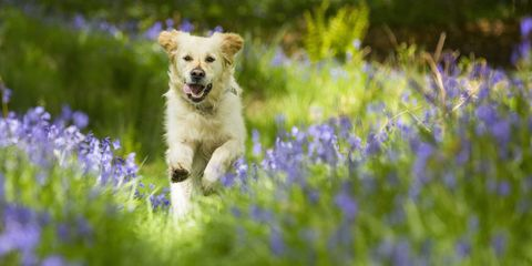 Dog running in bluebells