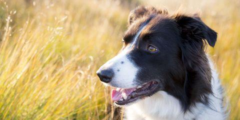 sheepdog border collie