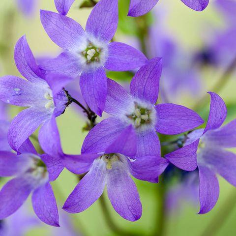 Campanula Fairy Bellflower White x 6 Large Plug Plants Hardy Perennial