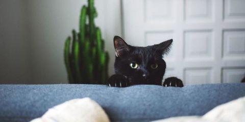 Cat, Mammal, Black cat, Small to medium-sized cats, Felidae, Black, Whiskers, Carnivore, Korat, Domestic short-haired cat,