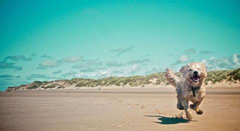 Landscape, Dog breed, Toy, Carnivore, Ecoregion, Sporting Group, Sand, Dog, Aqua, Teal,