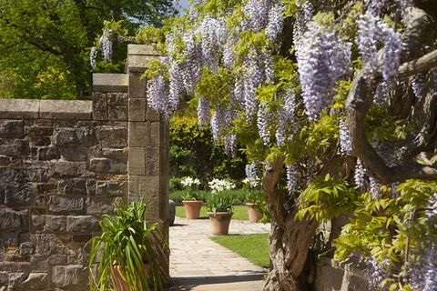 Wisteria at Nymans
