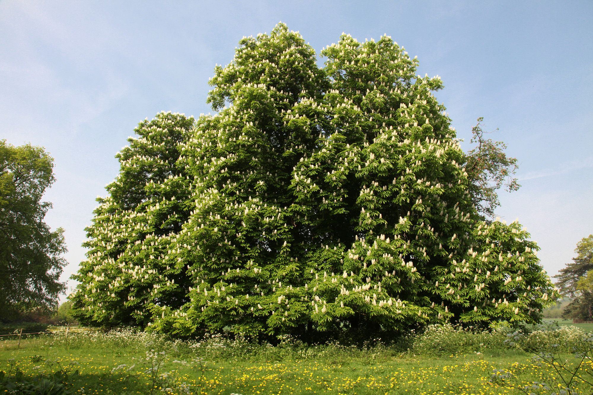 The Real Reason Its Called A Horse Chestnut Tree