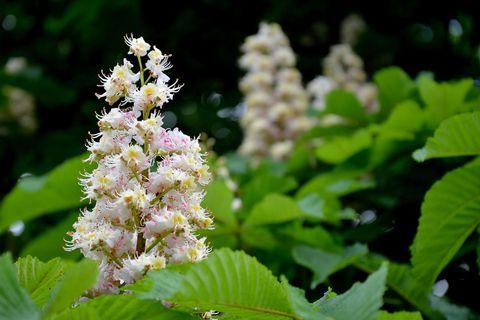 Fact file the horse chestnut tree horse chestnut flower mightylinksfo
