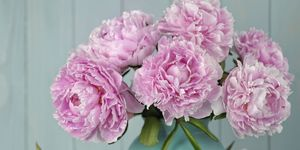 peony pink flowers