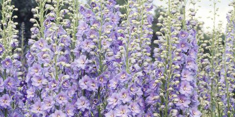 purple delphinium flower plant