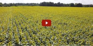 video sunflower field
