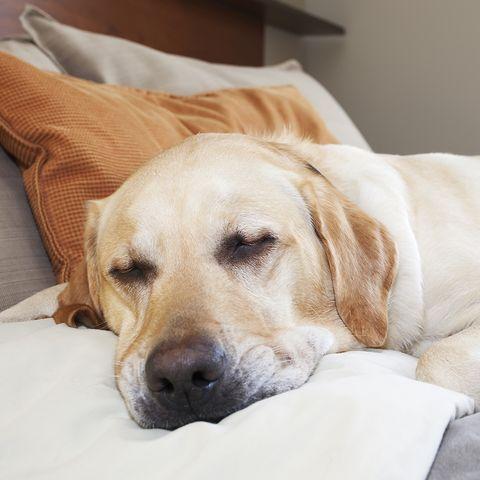 labrador asleep