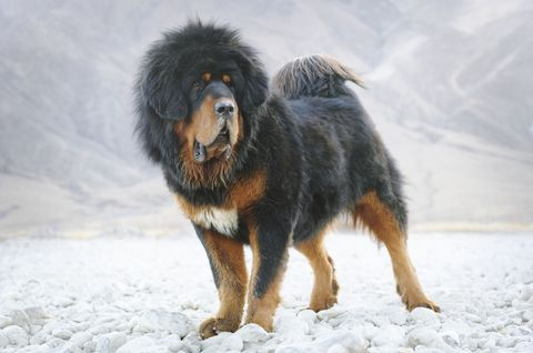 Dog breed, Winter, Vertebrate, Dog, Carnivore, Sporting Group, Snow, Snout, Companion dog, Freezing,