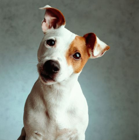 Brown, Dog breed, Dog, Carnivore, Snout, Liver, Companion dog, Fawn, Canidae, Working animal,
