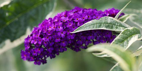 buddleja plant flower butterfly