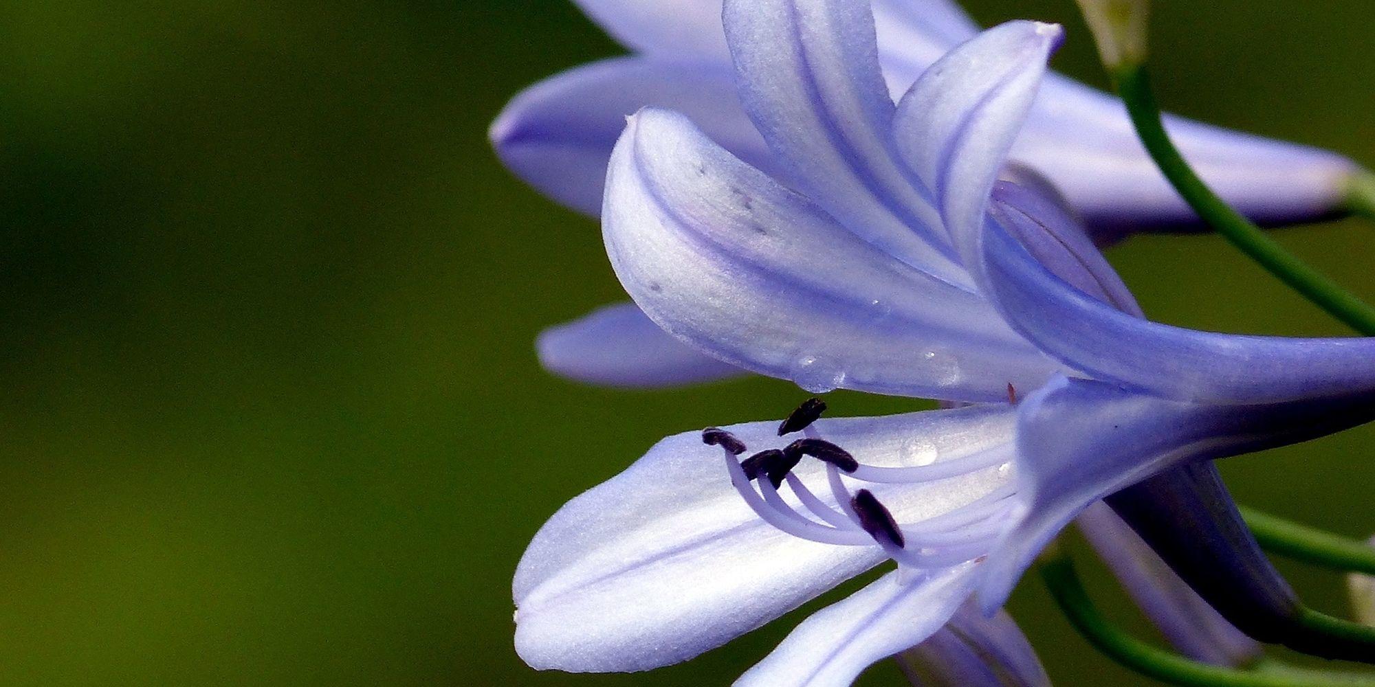 8 ways to help your agapanthus last longer izmirmasajfo