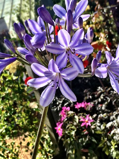8 Ways To Help Your Agapanthus Last Longer