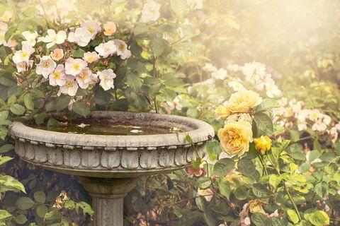 birdbath rose garden