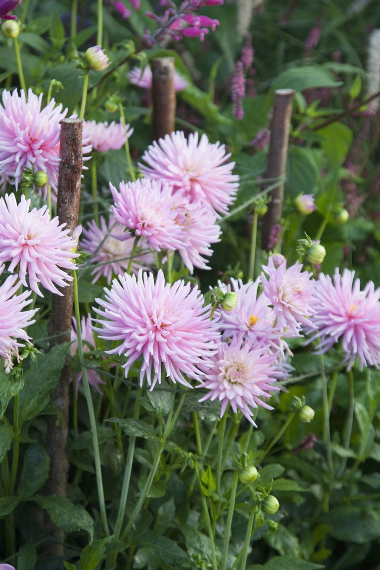 5 of the best flowers for a pastel palette dahlia pink flower izmirmasajfo