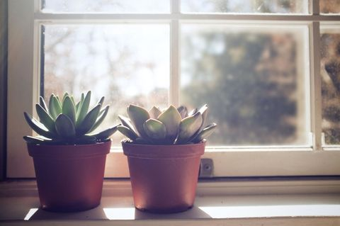 <p>Succulents first cropped up in areas with long dry seasons (such as Africa), since they store water in their leaves. </p>