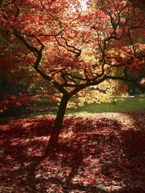acer leaves tree