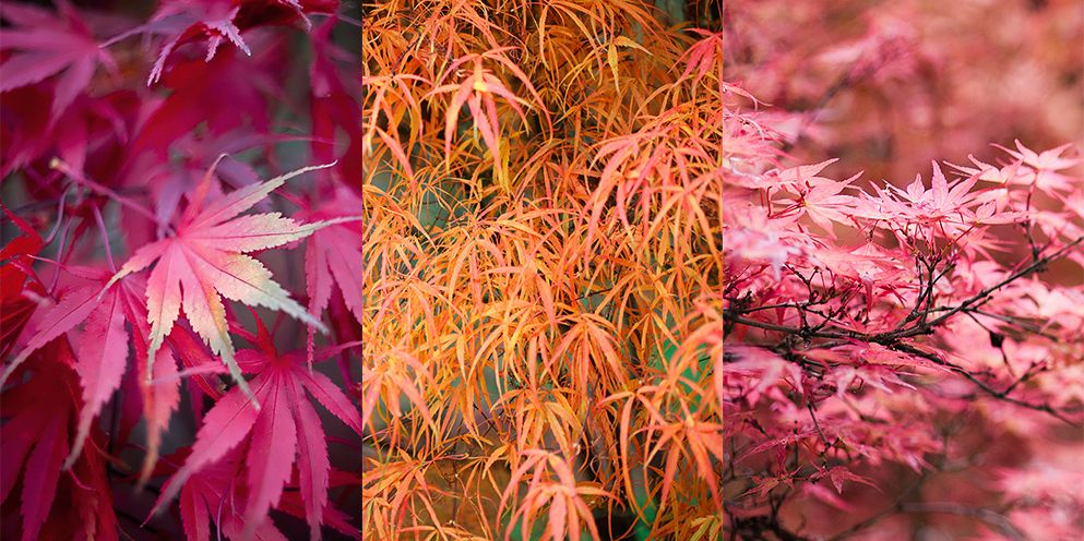6 Acer Tree Varieties And Care Tips