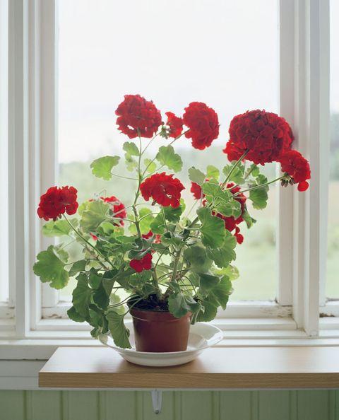 Flower, Red, Petal, Flowerpot, Flowering plant, Fixture, Carmine, Plant stem, Interior design, Annual plant,