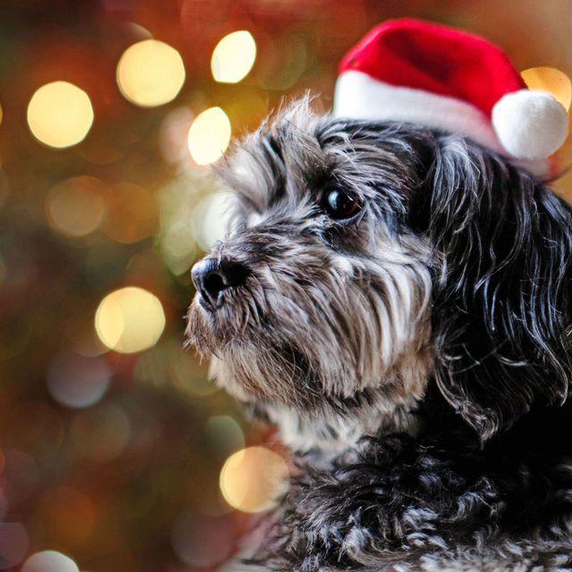 Christmas Dog.Christmas Dog Advent Calendar 75g