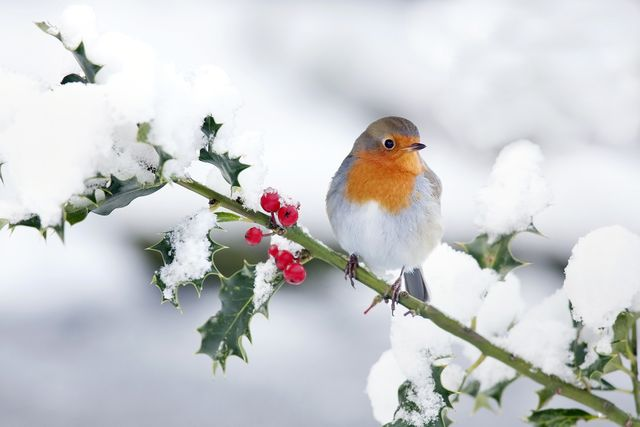 holly robin snow winter