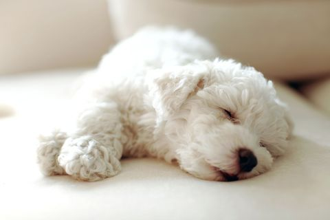 Dog breed, Carnivore, Dog, Companion dog, Toy dog, Canidae, Working animal, Water dog, Poodle crossbreed, Non-Sporting Group,