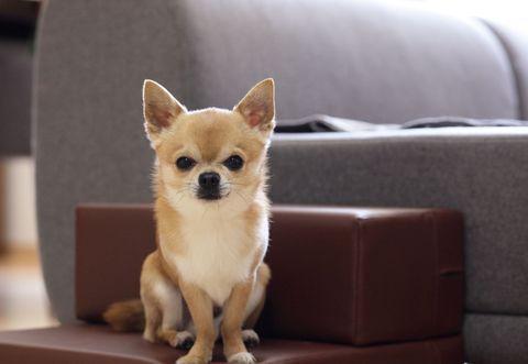 Vertebrate, Carnivore, Dog breed, Dog, Mammal, Snout, Tan, Fawn, Toy dog, Liver,