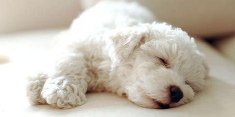 bichon frise dog puppy asleep sofa