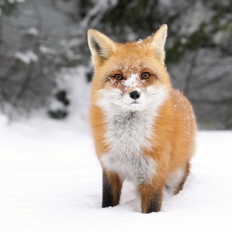 Red fox, Winter, Brown, Fox, Vertebrate, Carnivore, Snow, Freezing, Terrestrial animal, Snout,